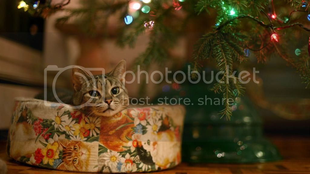 KittehMondayChristmasEdition11 zpsc82a48d6 Kitteh Monday: Its Christmas!